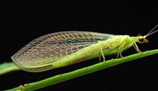 chrysoperla externa
