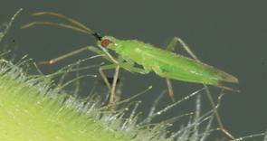 macrolophus
